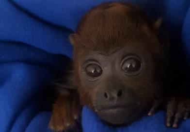 Mono aullador fue rescatado en Bogotá