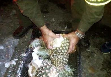VIDEO – Encuentran marihuana en un cargamento de piña en Santander