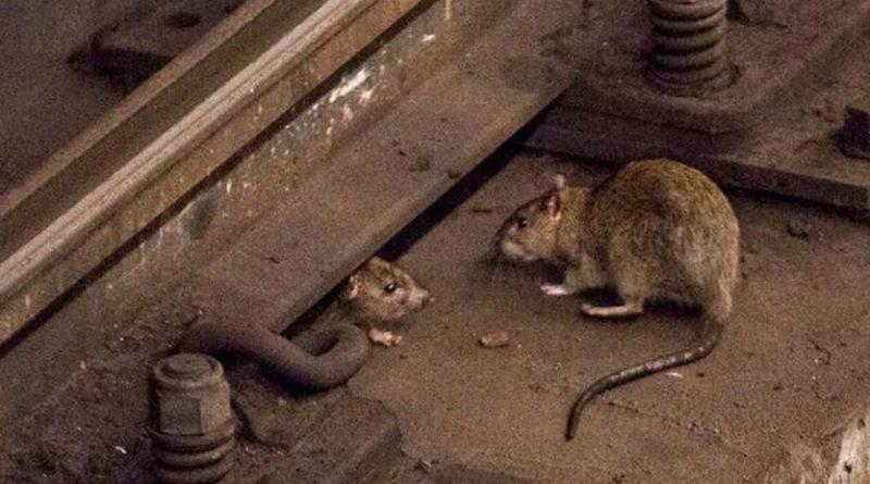 Ratas caníbales a causa de la pandemia covid-19